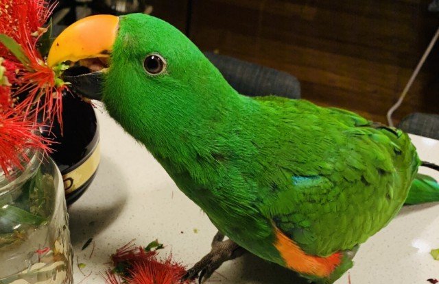 Inkerman the Eclectus
