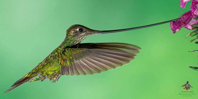 Sword Billed Hummingbird by Bogota Birding ©2019