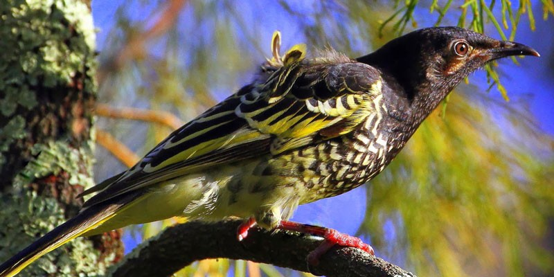 Regent Honeyeater by Tim Dolby