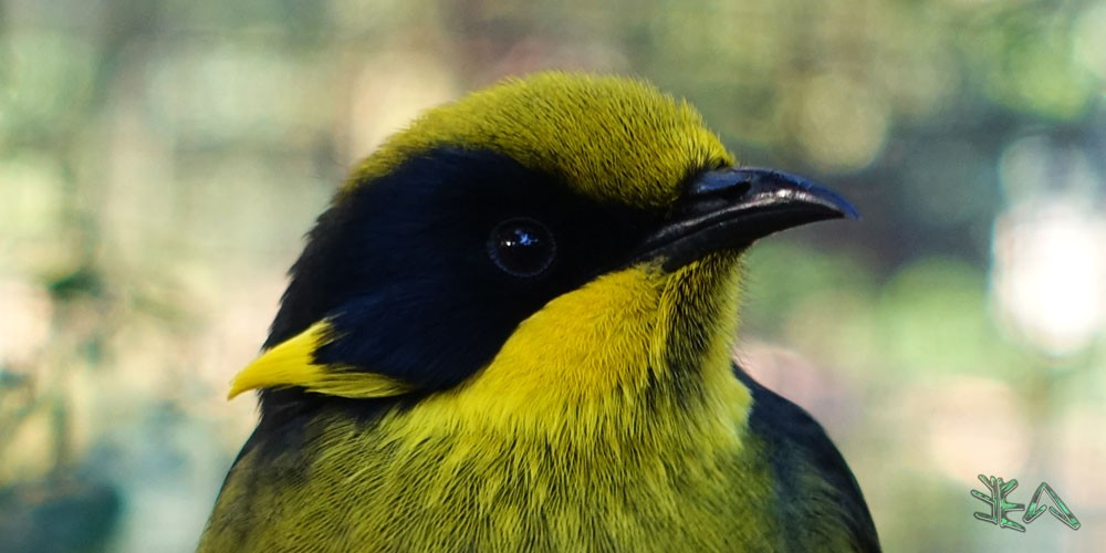 Helmeted Honeyeater
