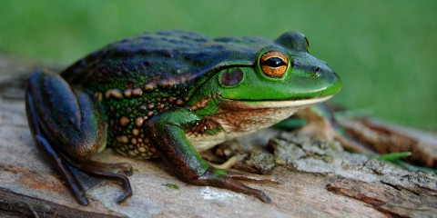 Growling Grass Frog by Tereza T via Wikipedia