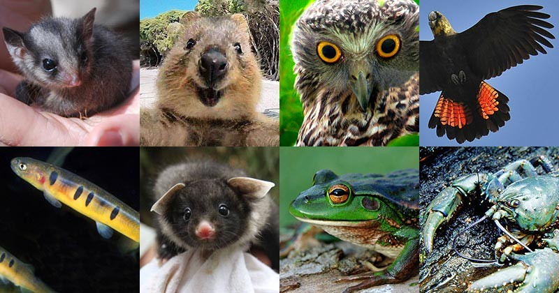 Threatened Species in Australia (Pictured: Leadbeater's Possum, Quokka, Powerful Owl, Glossy Black Cockatoo, Barred Galaxias, Yellow-bellied Glider, Growling Grass Frog, Giant Freshwater Crayfish)