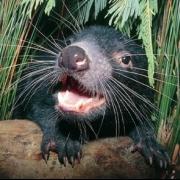 Tasmanian Devil Group