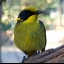 Helmeted Honeyeater Group