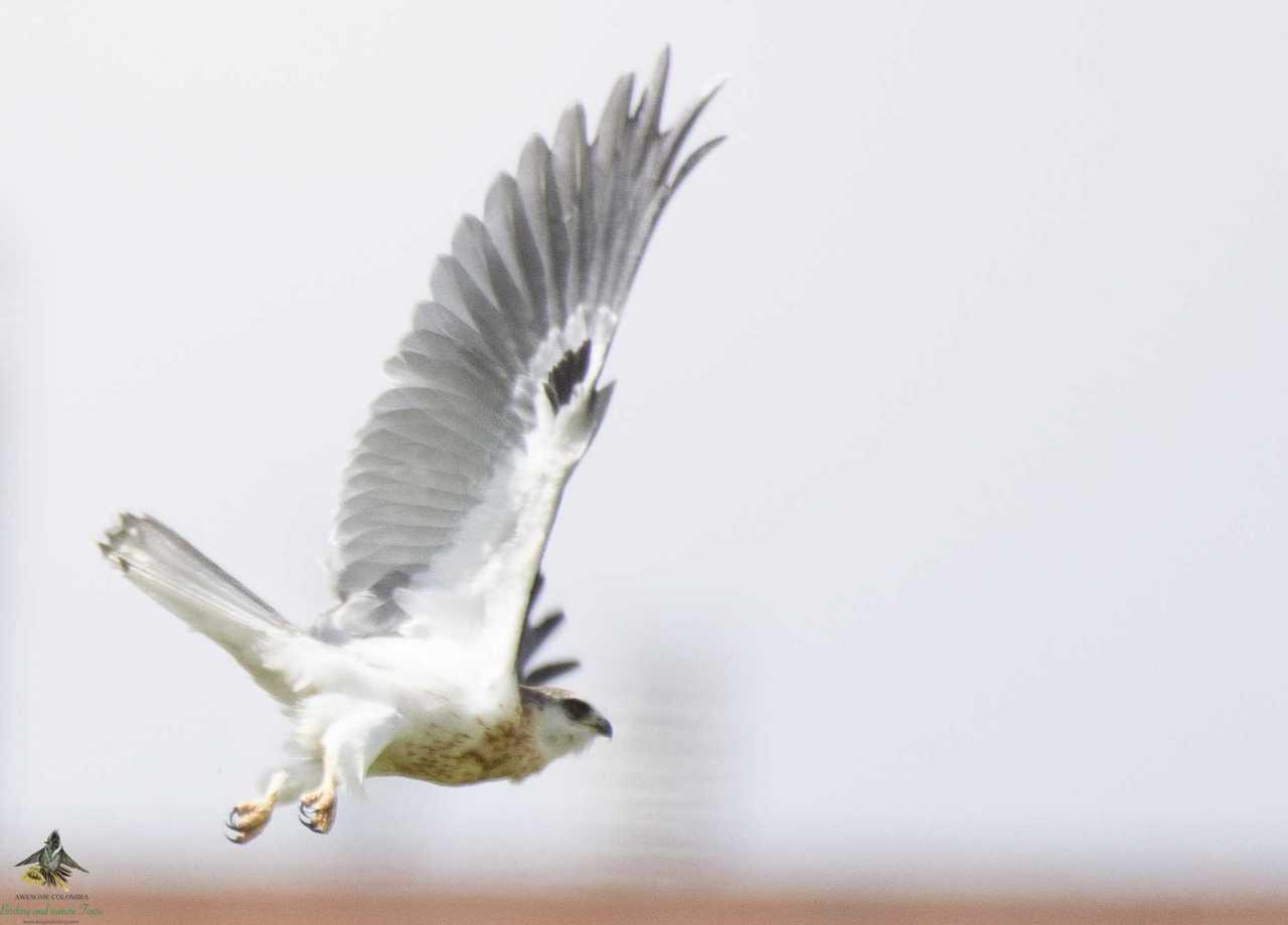 Elanus leucurus - White-tailed Kite - Gavilán Maromero3