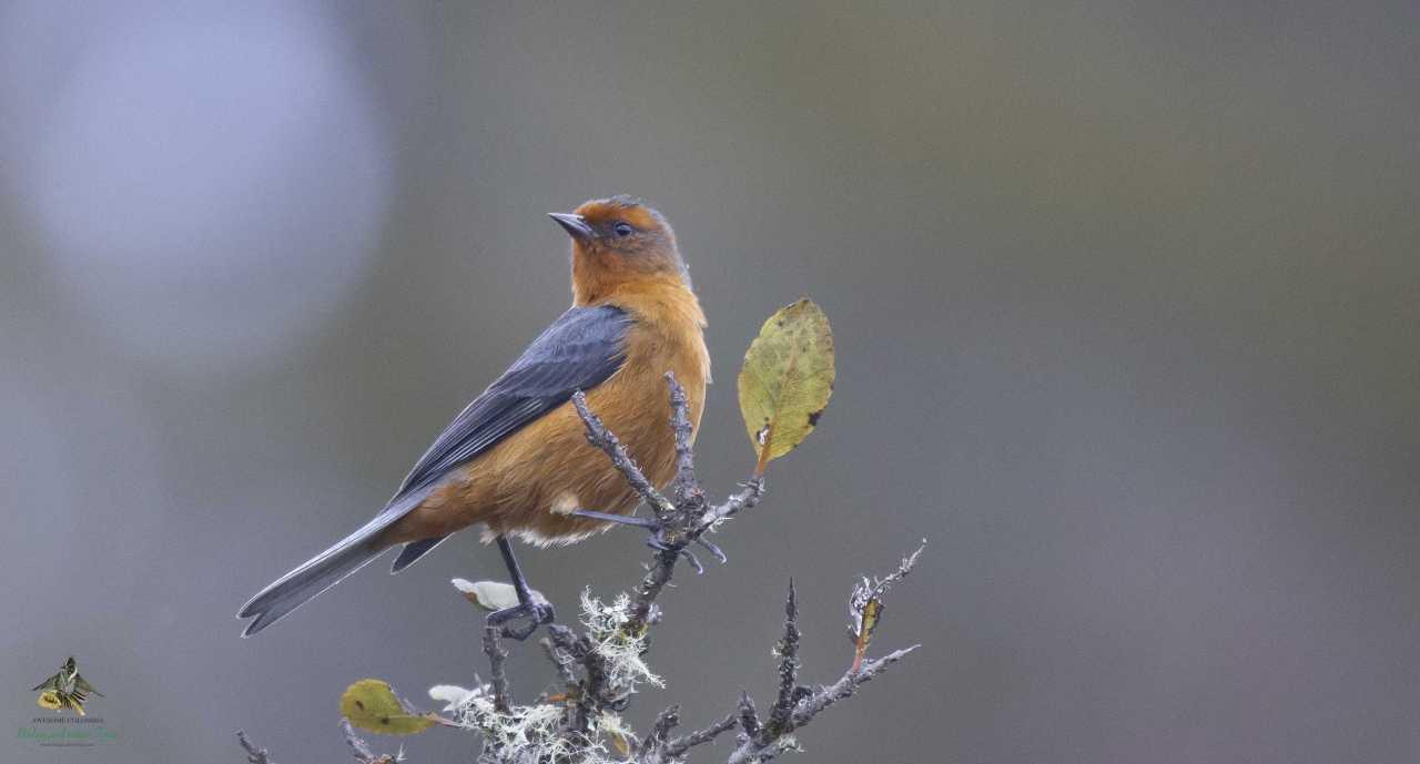 Rufous-browed Conebill - Conirostrum rufum - Conirrostro Rufo - Humedal La Florida - Bogota Birding - Colombia Birding