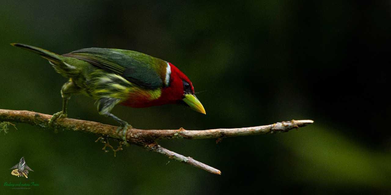 Red-headed Barbet - Eubucco bourcierii - Compas - Torito Cabecirojo - Bogota Birding - Colombia Birding