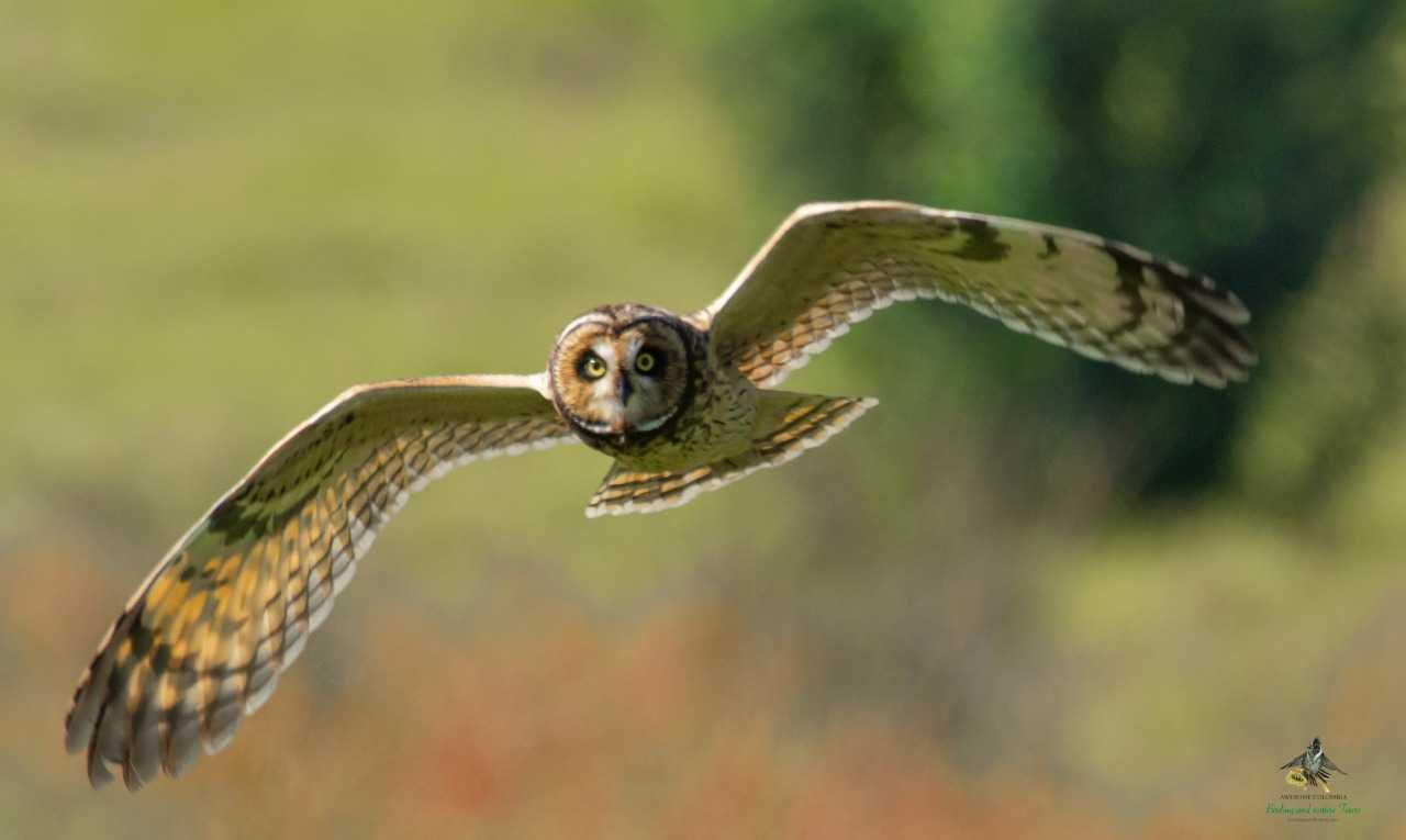 Short-eared Owl - Asio flammeus - Búho Campestre - Bogota Birding - Bird Photography Tours