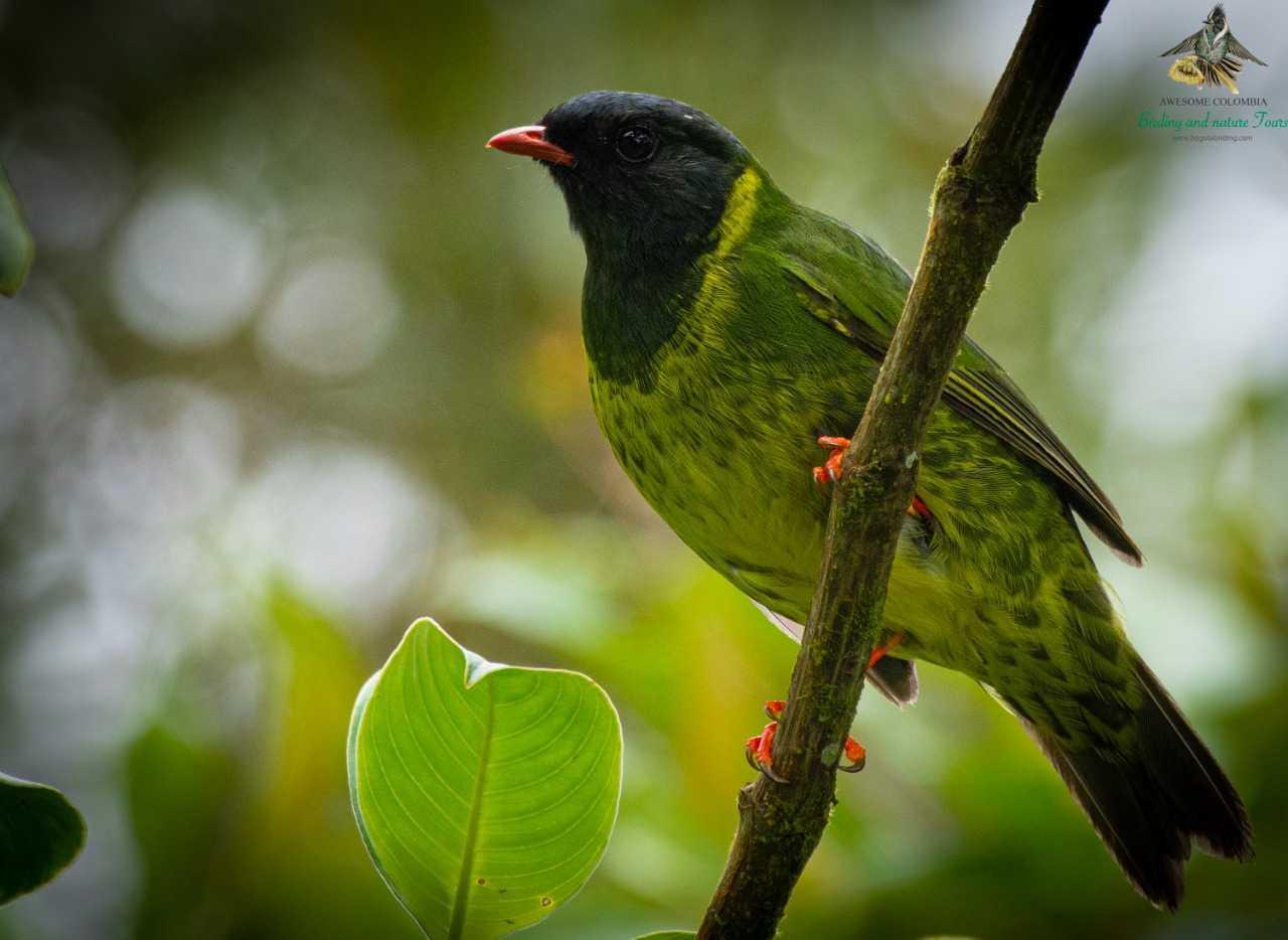 Green and Black Fruiteater - Pipreola riefferii - Frutero Verdinegro - Bogota Birding and Colombia Wildlife Tours